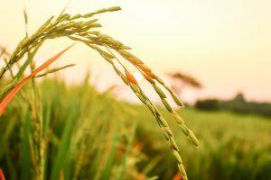 cereali birra riso
