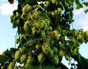 app birra artigianale luppolo